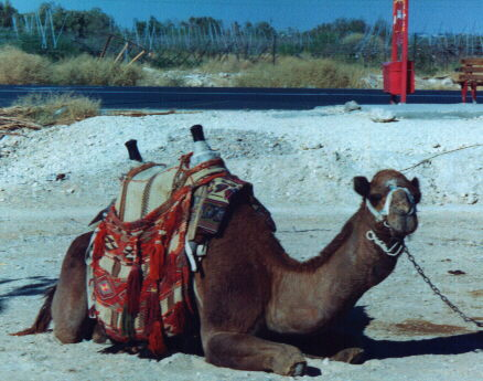 Camel at filling station near Jericho.  Click to go back.